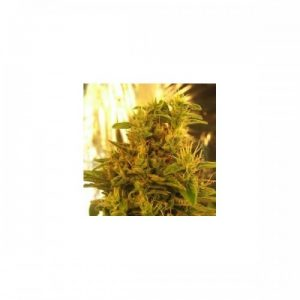 Nirvana Seeds Haze #13 female Seeds