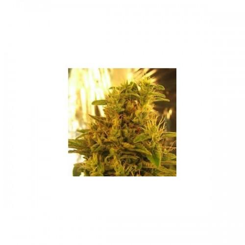 Nirvana Seeds Haze #13 female Seeds