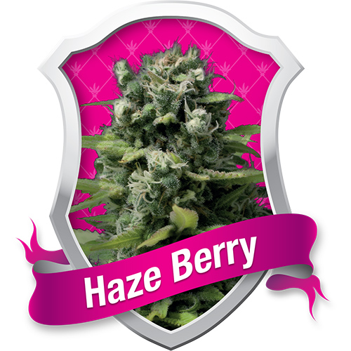 Royal Queen Seeds Haze Berry female Seeds
