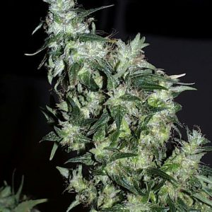 KC Brains Haze Special female Seeds