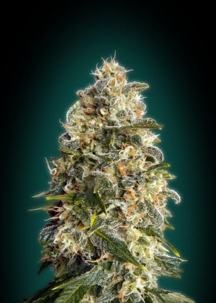 Advanced Seeds Heavy Bud female seeds