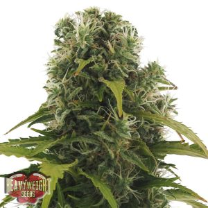 Heavyweight Seeds Auto High Density female Seeds