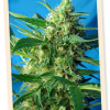 Sweet Seeds Fast Bud #2 Auto female Seeds
