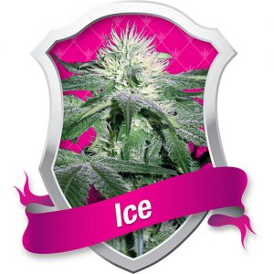 Royal Queen Seeds Ice female Seeds