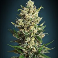 Advanced Seeds Ice Kush female seeds