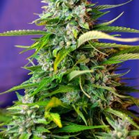 Sweet Seeds Jack 47 Auto female Seeds