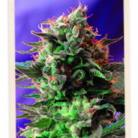 Sweet Seeds Jack 47 FAST Version female Seeds