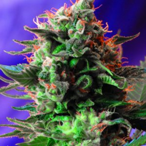Sweet Seeds Jack 47 female Seeds