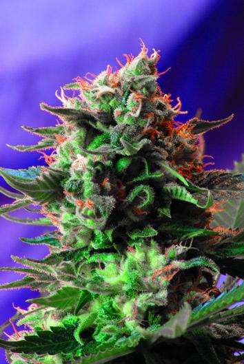 Sweet Seeds Jack 47 female Seeds