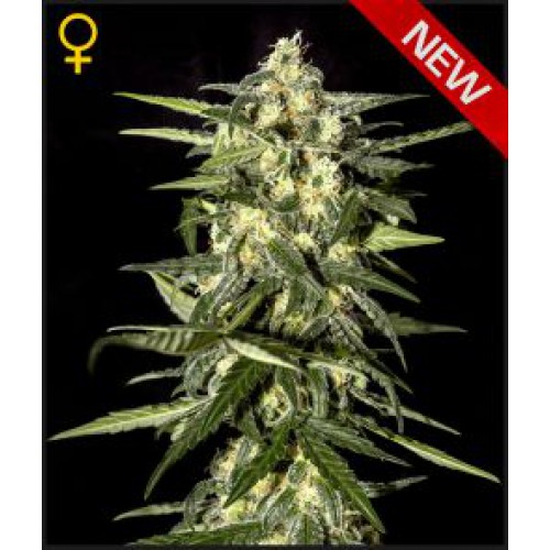 Greenhouse Seed Co. Jack Herer AUTO female Seeds