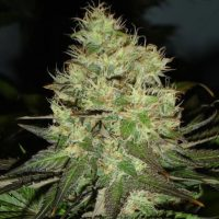 blackskull JACK HERER FEMALE