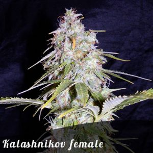 Discount Female Seeds Kalashnikov female seeds