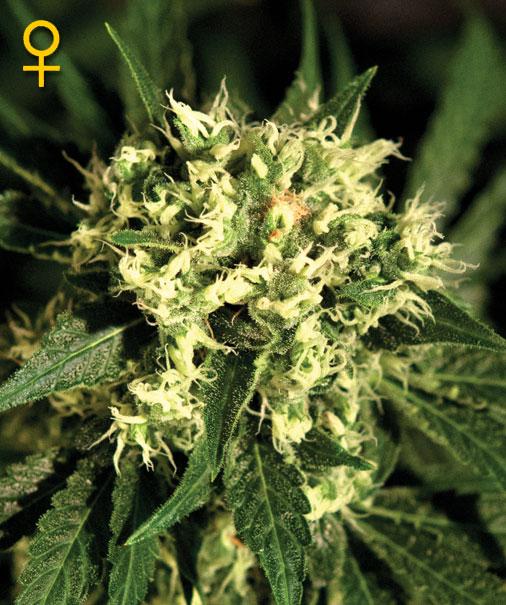 Greenhouse Seed Co. Kalashnikova female Seeds