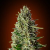 Advanced Seeds Kali 47 female seeds