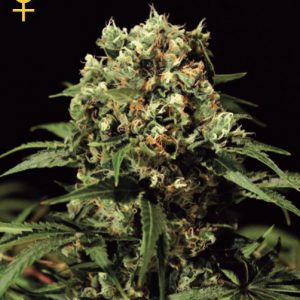 Greenhouse Seed Co. Kalashnikova AUTO female Seeds