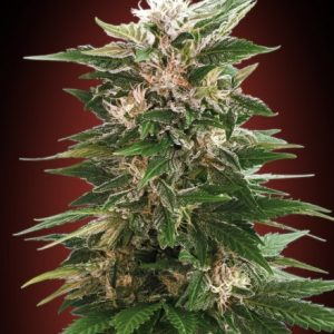 Advanced Seeds Kaya 47 female seeds