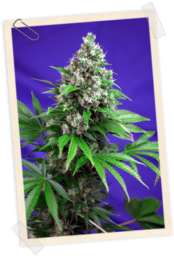 Sweet Seeds Killer Kush FAST Version female Seeds