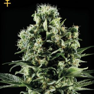 Greenhouse Seed Co. Himalayan Gold female Seeds