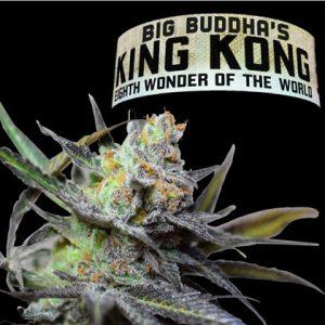 Big Buddha Seeds King Kong female seeds
