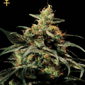 Greenhouse Seed Co. King's Kush female Seeds