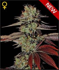 Greenhouse Seed Co. King's Kush AUTO female Seeds