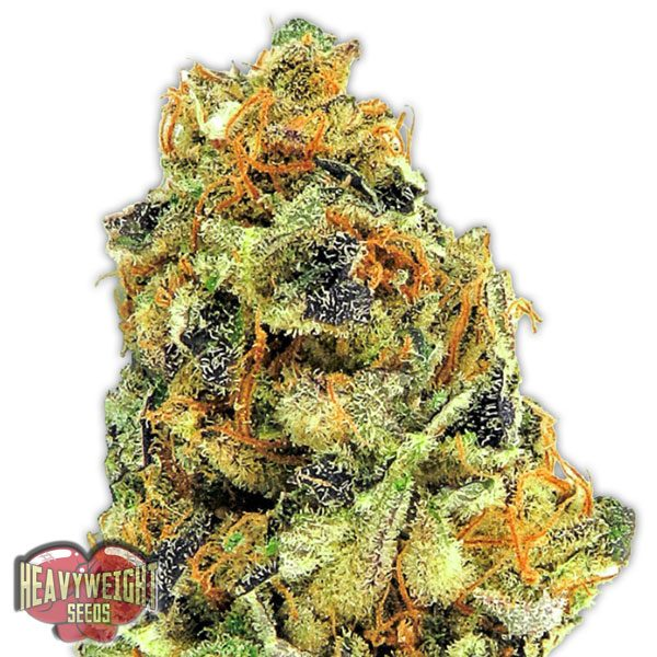 Heavyweight Seeds K.O. Kush female Seeds