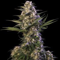 Buddha Seeds Kraken female Seeds