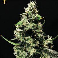 Greenhouse Seed Co. K-Train female Seeds