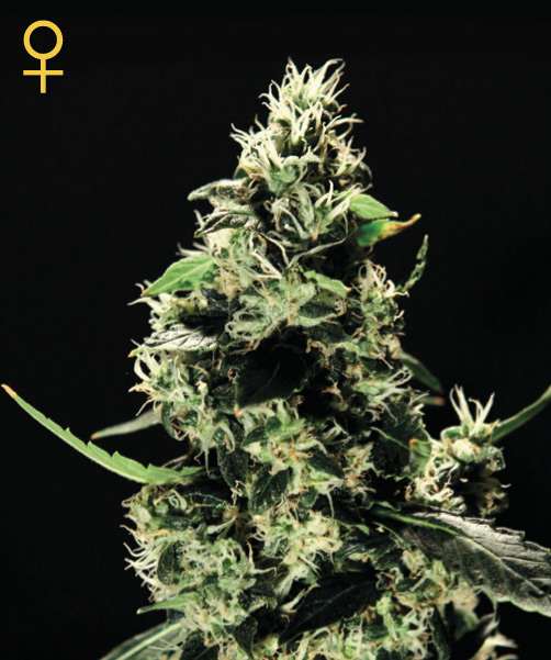 Greenhouse Seed Co. K-Train female Seeds