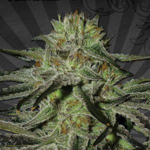 Auto Seeds Kush Doctor