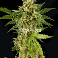 Dinafem Kush-N-Cheese female Seeds