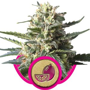 Royal Queen Seeds Lemon Haze female Seeds