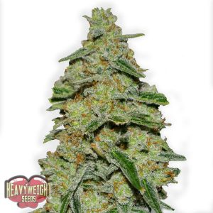 Heavyweight Seeds Lemon Cake female Seeds
