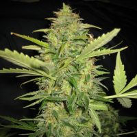 Lowlife seeds Auto Lemon skunk female