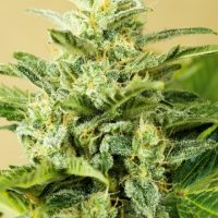 Advanced Seeds Auto Low Girl female seeds