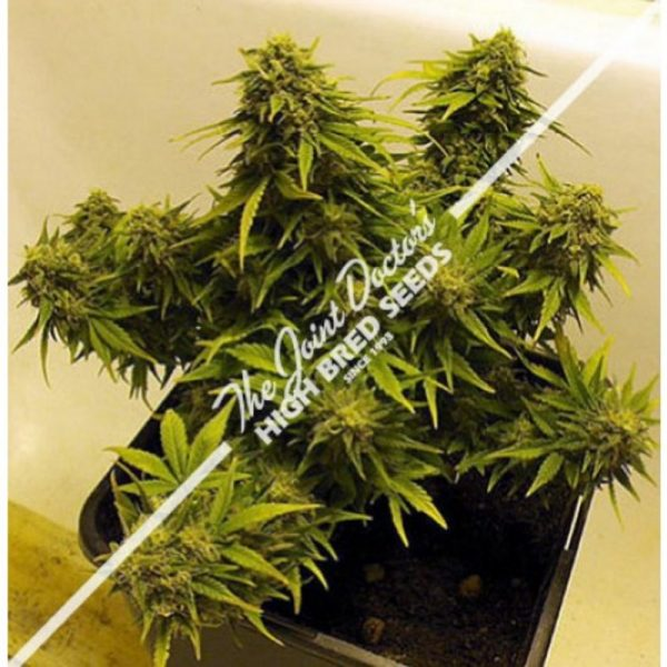 Joint Doctor Lowryder Mix Autoflowering female Seeds