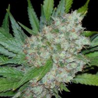 Seedsman Mama Mia female Seeds