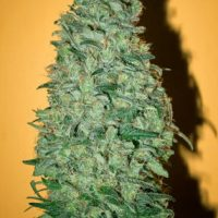 Mandala seeds California Dream female
