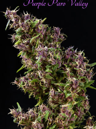 Mandala seeds Purple Paro Valley female