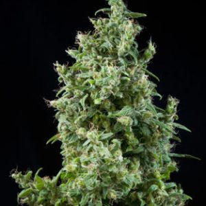 Mandala seeds White Bhutanese female