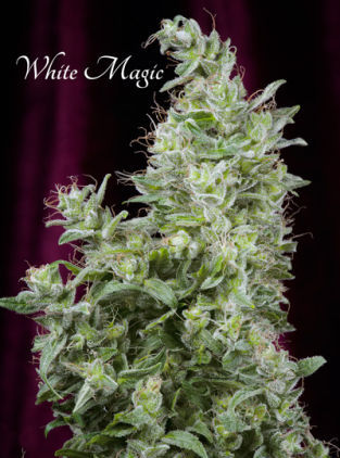 Mandala seeds White Magic female