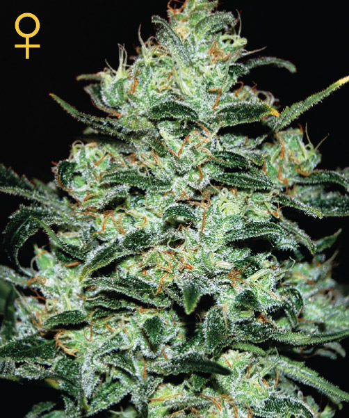 Dinafem Moby Dick female Seeds