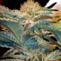 Sweet Seeds Mohan Ram Auto female Seeds