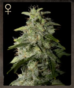 Strain Hunters Money Maker female Seeds