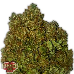 Heavyweight Seeds Money Bush female Seeds