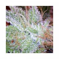Nirvana Seeds Ice female Seeds