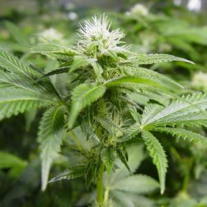 Nirvana Seeds White Widow female Seeds
