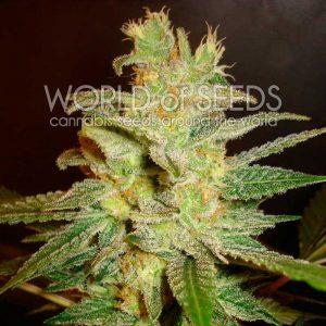 World of Seeds Northern Light x Big Bud female Seeds