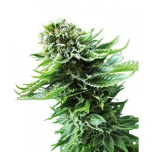 Sensi Seeds Northern Lights AUTO female Seeds