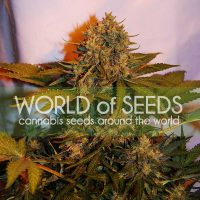 World of Seeds Northern Light x Big Bud AUTO female Seeds